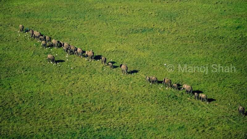 African Elephant herd walking in a line in Amboselli National Reserve, Kenya