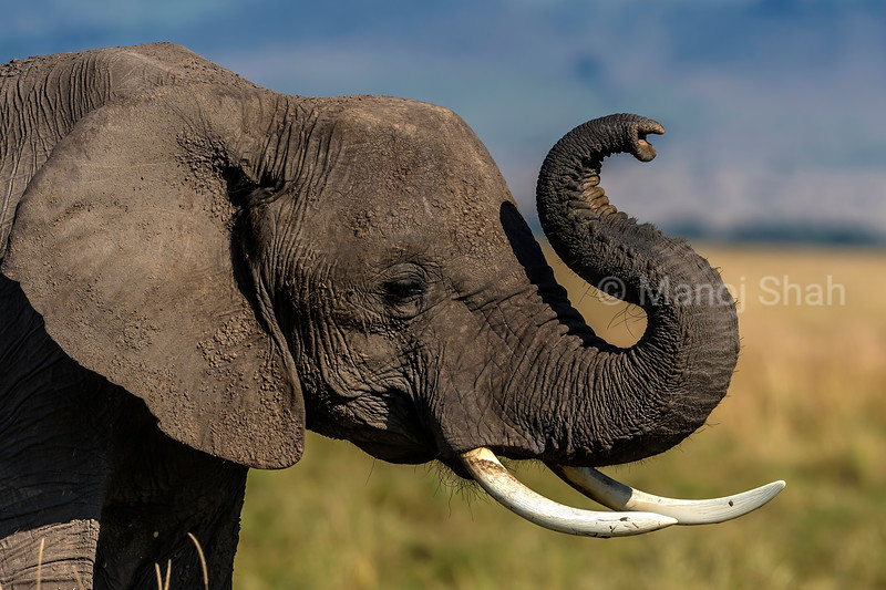 African elephant adult using its trunk to small the environment in Masai Mara
