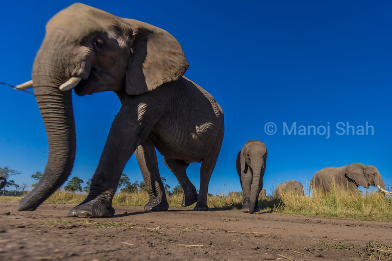 African Elephant baby following mothet in Masai Mara and starts  graziing in the savanna.