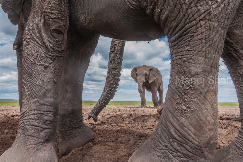 elephant view between an ellephant's leg in Masai Mara.