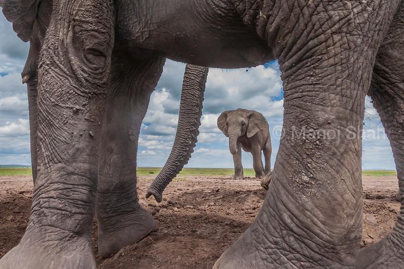 elephant view between an ellephant's leg in Masai Mara.