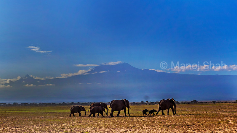 African Elephants  walking with Mt. Kilimanjaro in background in Amboseli National Park.