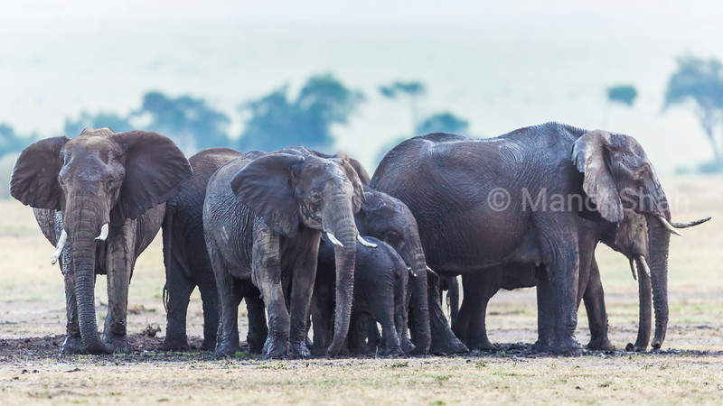 After days of dry and hot weather, it suddenly poured in Mara. The elephant herd went beserk with joy especially the youngsters who started playing in the mud. Probably because thiere was a dominant lion pride was nearby, the adult elephants stood on guard while the youngsters enjoyed the mud playing.