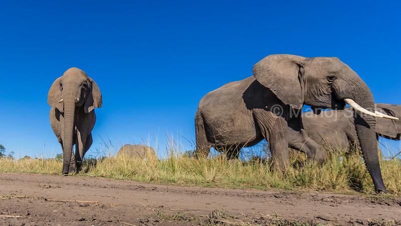 African Elephants on the move in Masai Mara.