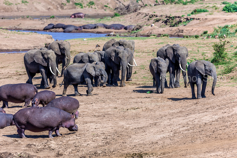African Elephants with Hippos on Mara River bank in Masai Mara.