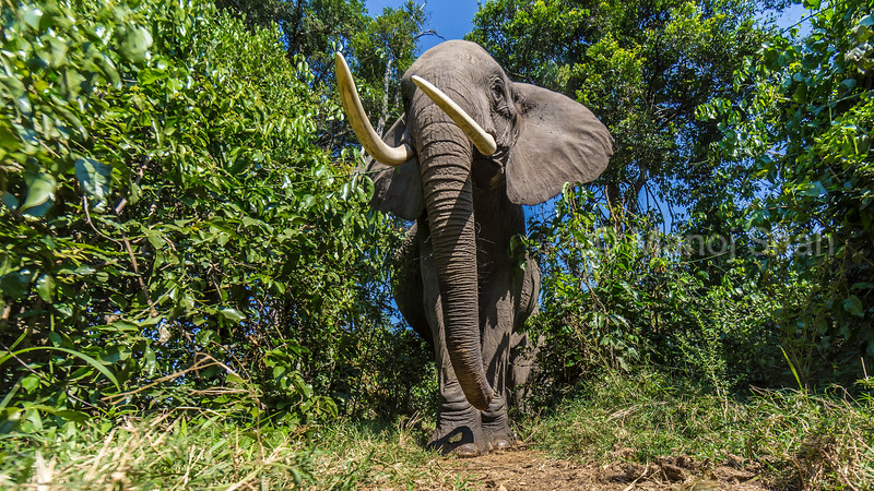 African Elephant emerging from the forest in Masai Mara with protruding tusks.
