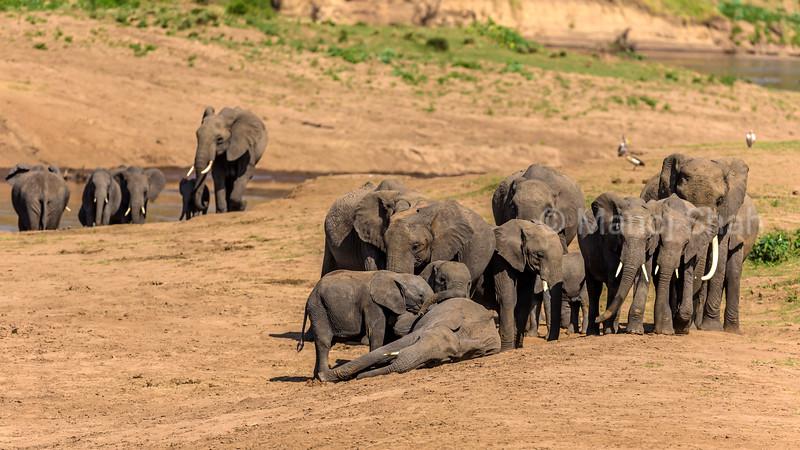 African Elephants drinking water from Mara river with  Egtptian Geese on Mara River bank in Masai Mara.