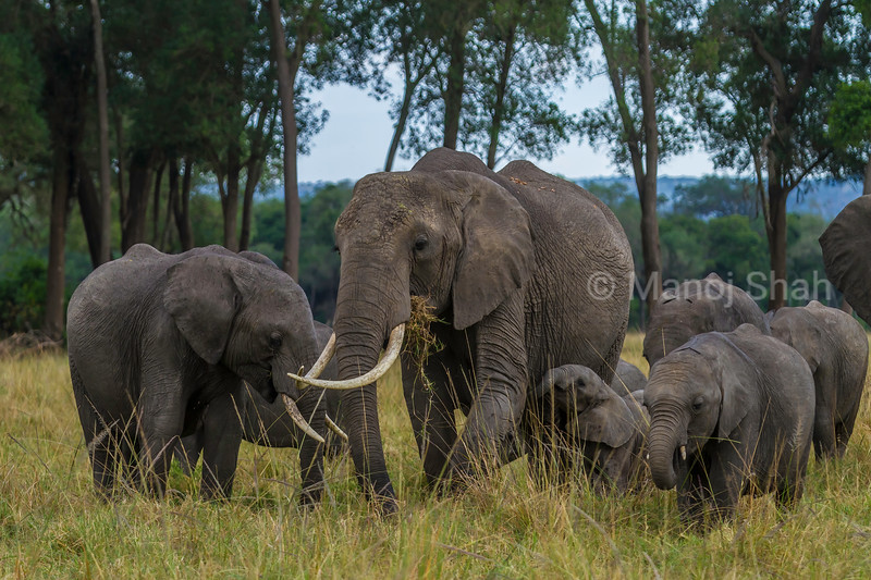 African elephant herd  grazing in Masai Mara savannah.