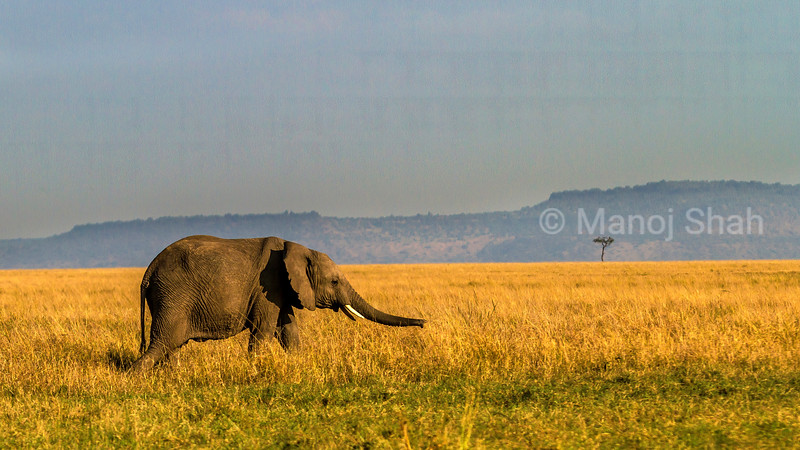 African elephant smelling the grass using its trunk in Masai Mara savannah.