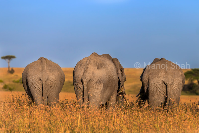 Backs of 3 elephants grazing savanna grass in Masai Mara.