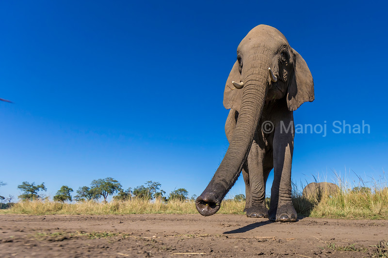 African Elephant on the move in Masai Mara.