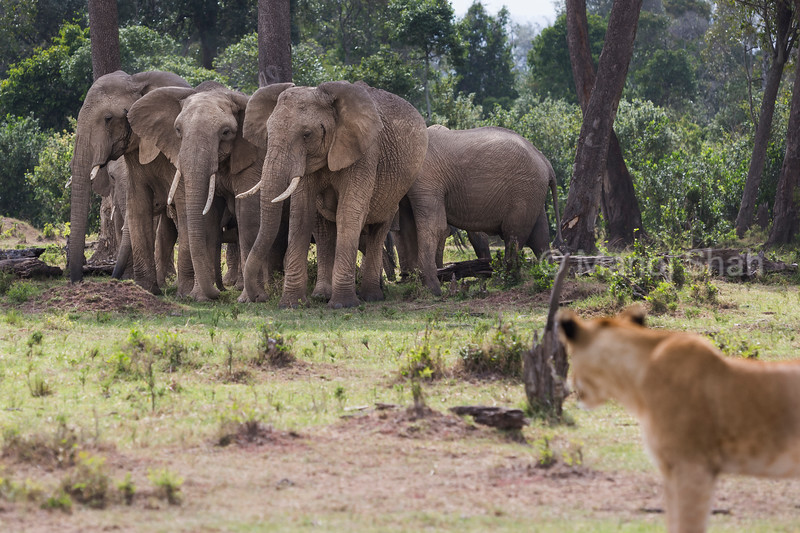 Lioness watching elephant herd resting in shade