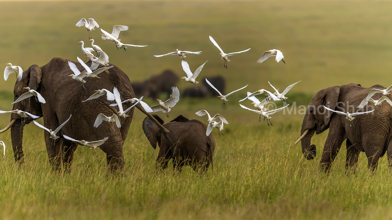 Cattle egrets follow African Elephants whose walking in the savanna disturb flying insects. These insects are caught and eaten by the cattle egrets.