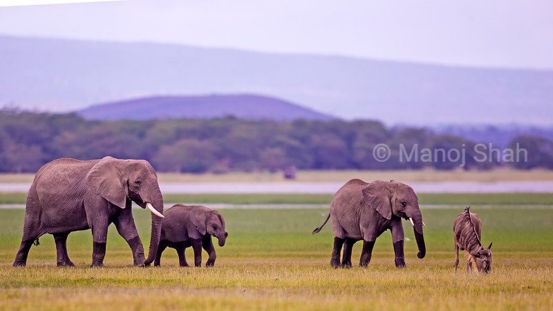 African Elephant family walking along the Amboseli marsh.