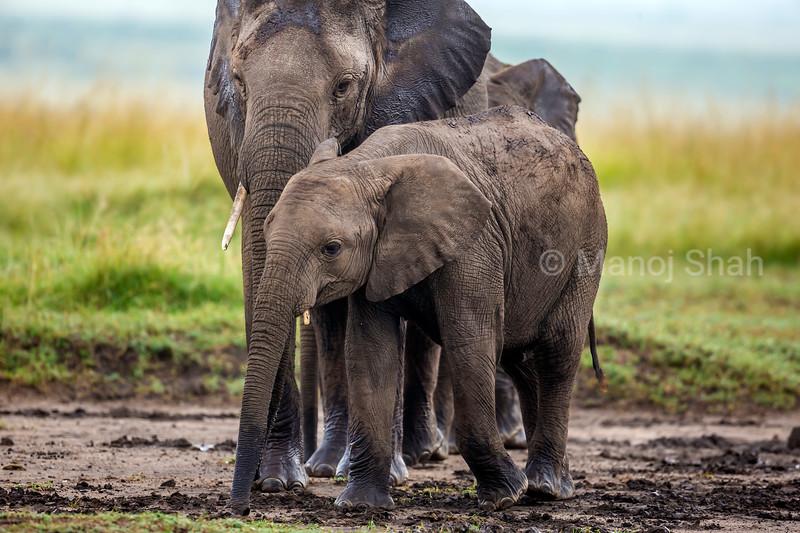 African Elephant family walking to the Marsh in Masai Mara.