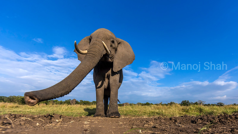 African Elephant emerging from the forest in Masai Mara and smelling the remote camera.