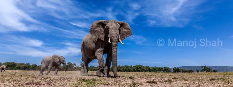 Afican elephant grazong on Masai Mara savanna.