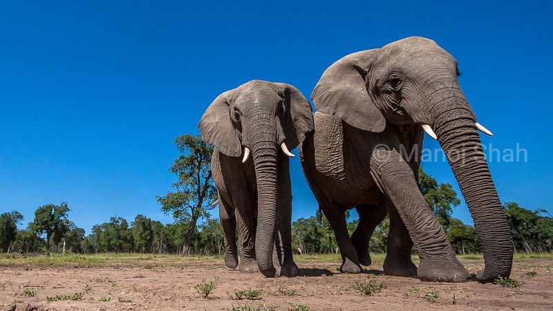 African Elephants walking to the marsh in Masai Mara