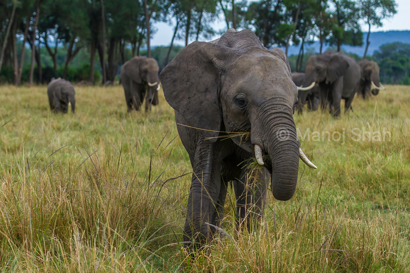 African elephant  grazing in Masai Mara savannah.
