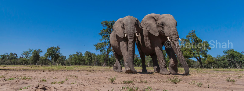 African Elephants walking from the riverine forest to the swamp in Masai Mara.