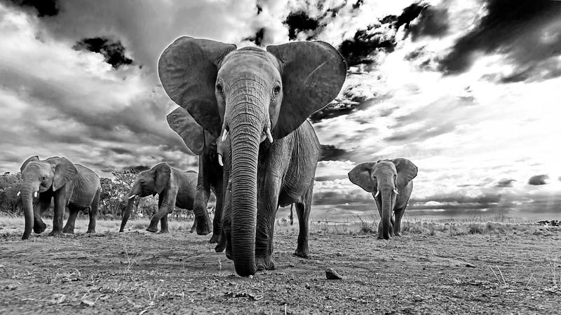 African Elephant looking at the remote camera in Masai Mara savanna.