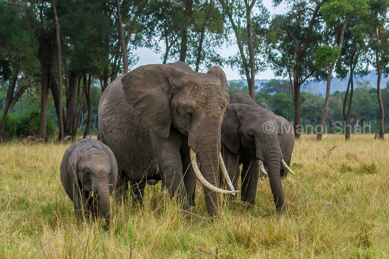 African elephant  grazing in Masai Mara savannah.
