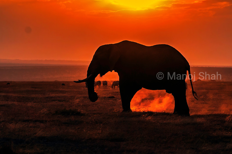 African Elephant scrapping the ground at sunset in Laikipia savanna.