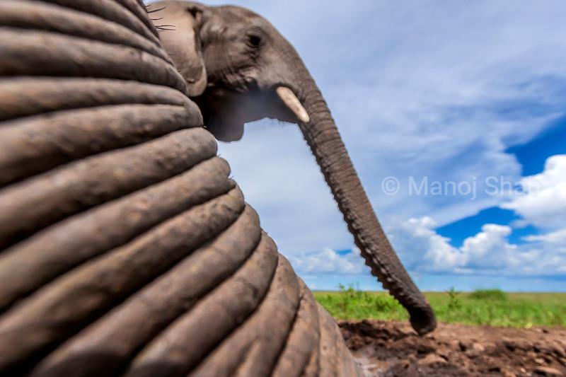 African elephant trunk in Masai Mara.