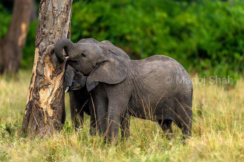 Baby african elephants tearing bark from tree in Masai Mara.