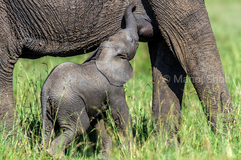 African Elephant baby looking for milk nipple under its mother's belly in Masai Mara,