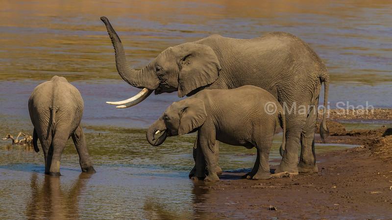 African Elephants drinking water at t Mara River in Masai Mara.