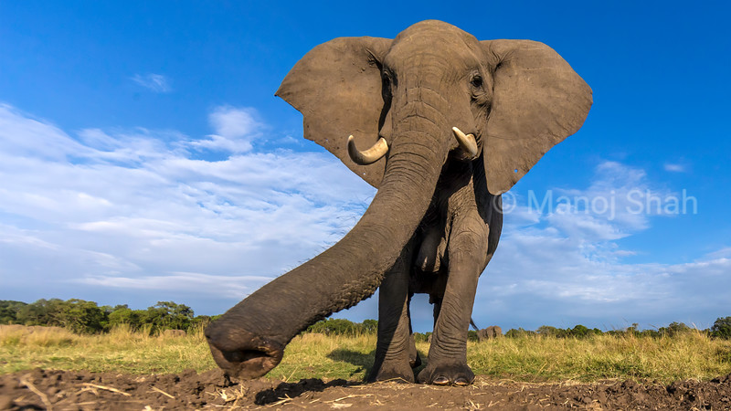 African Elephant on the move in Masai Mara, one step at a time.