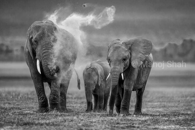 African Elephant family engrossed in  dusting process in Amboselli National Park, Kenya