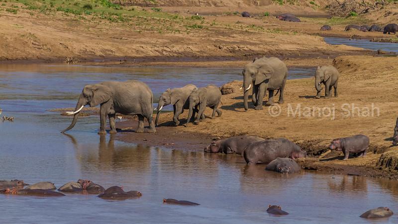 African Elephants and Hippos at Mara River in Masai Mara.