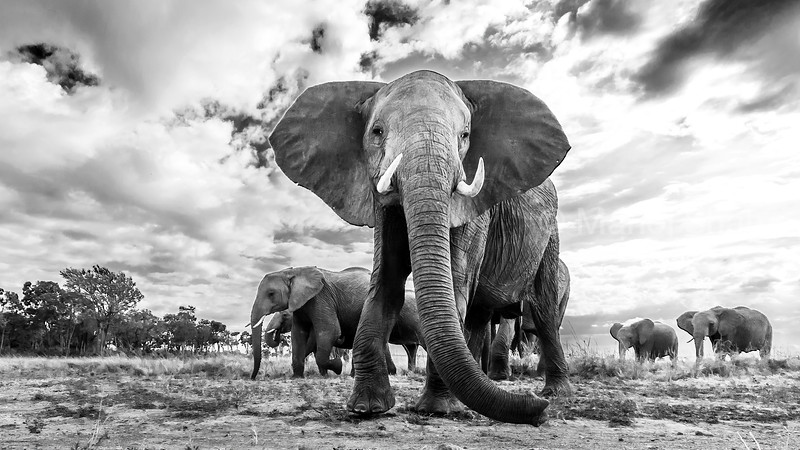 African Elephant emerging from the forest in Masai Mara and smelling the remote camera with its trunk.