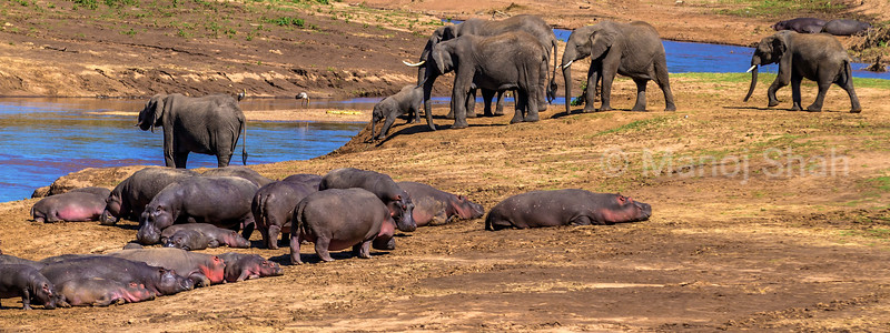 African Elephants and Hippos at Mara River in Masai Mara.