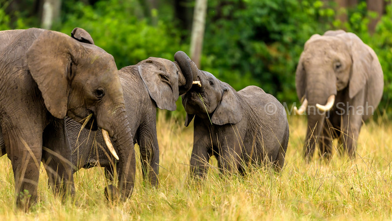 Two young elephants are  play fighting amidst the herd in Masai Mara.