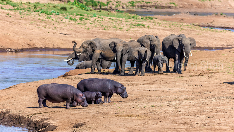 Hippos in front of African elephants drinking water from Mara River