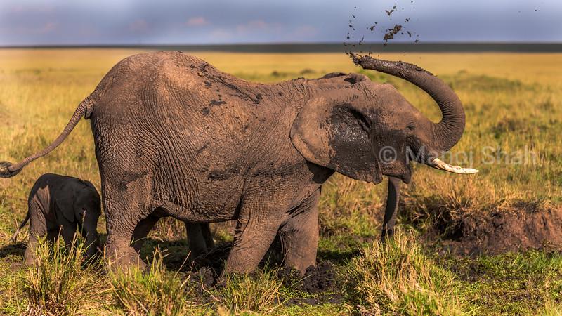 African Elephant has a mud bath in Masai Mara.