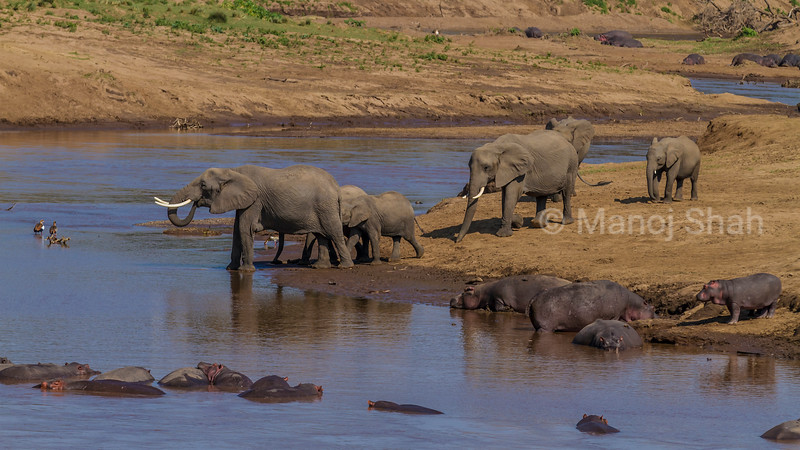 African Elephants and hippos and Egyptian Geese at Mara River in Masai Mara.