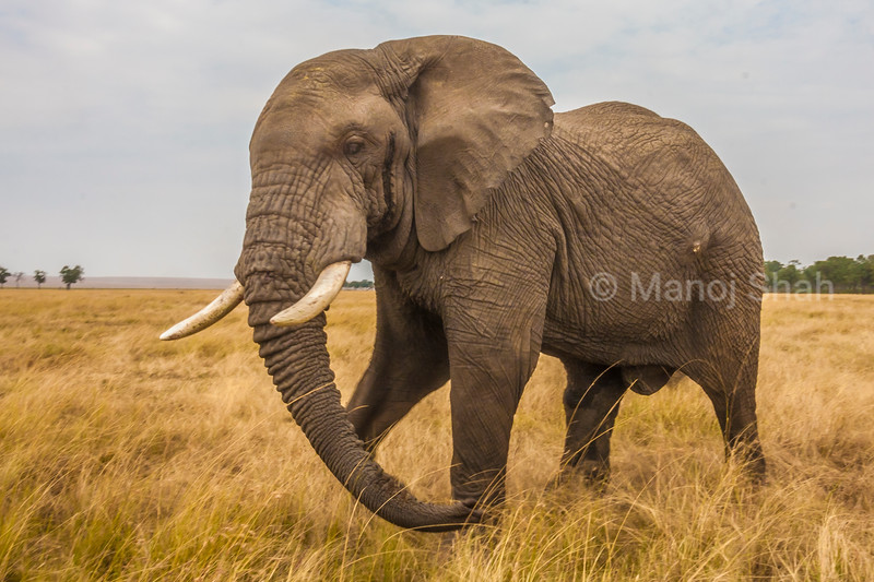 African Elephant walking in Masai Mara savanna,