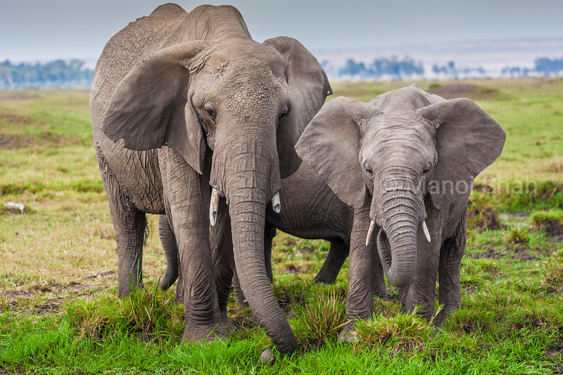 African elephants grazing