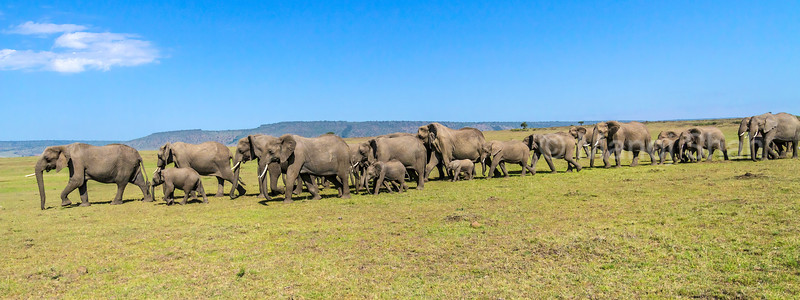 African elephant herd going to the marsh early morning in Masai Mara.