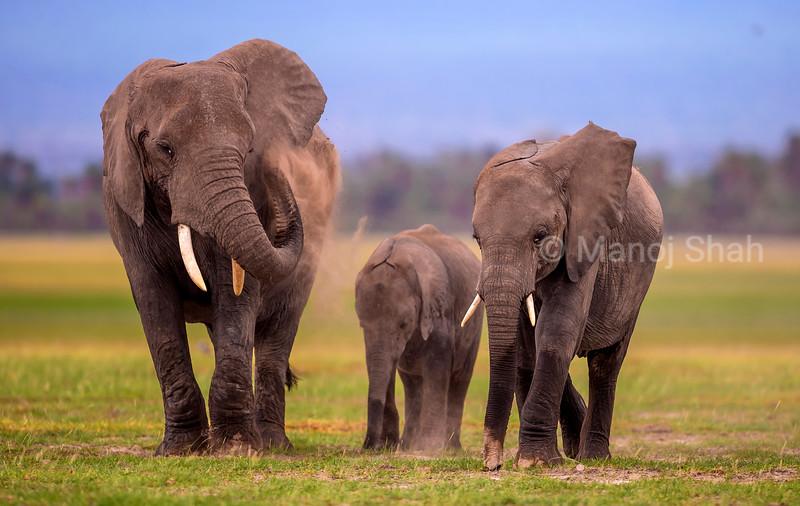 African elephant busy dusting under the mount Kilimanjar slopes