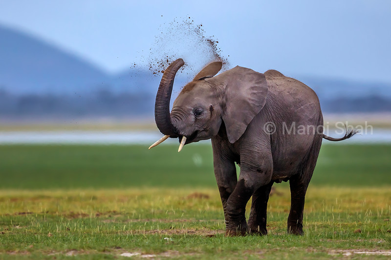 African Elephant youngster engrossed in dusting process in Amboselli National Park, Kenya