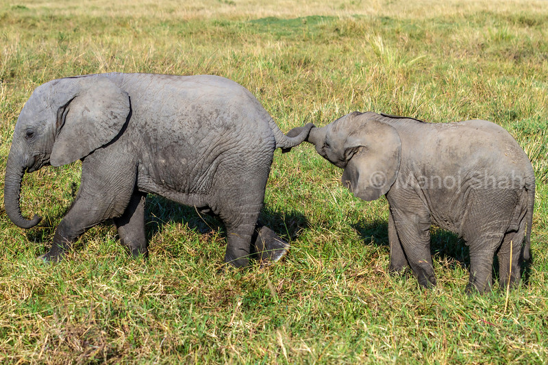 african elephant babies happily playing with trunk and tail in Masai Mara savanna.