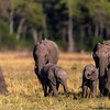 African elephant youngsters playing in the herd.