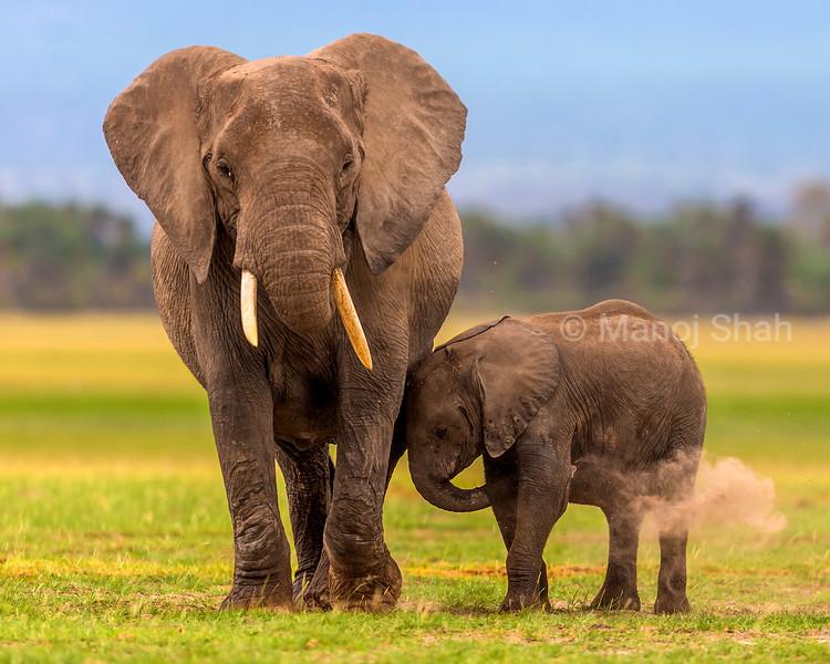 African Elephants dusting in Amboseli National Park, Kenya