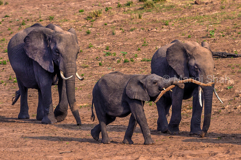 African Elephant youngster playing with a fallen branch on the way to the marsh in Masai Mara.
