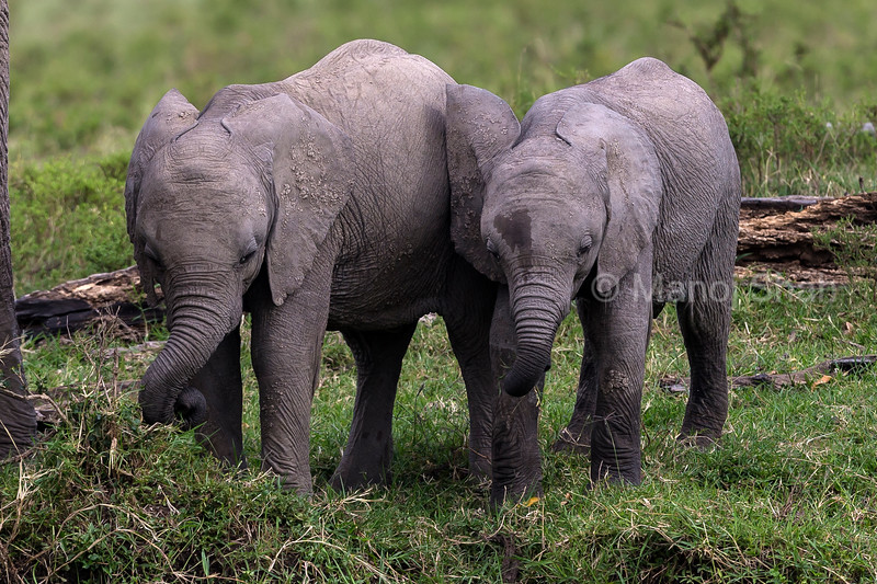 African Elephant babies playing with grass,